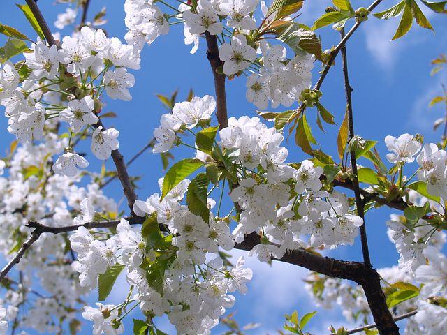 Comment bien entretenir un cerisier ?